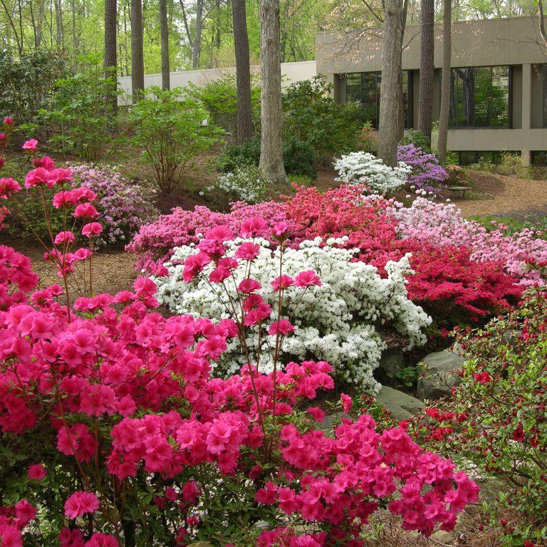 Garden Notebook: Tending Azaleas