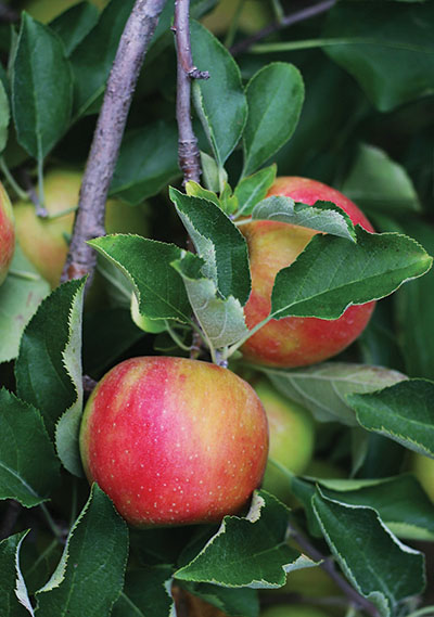 Apple Orchard Alley