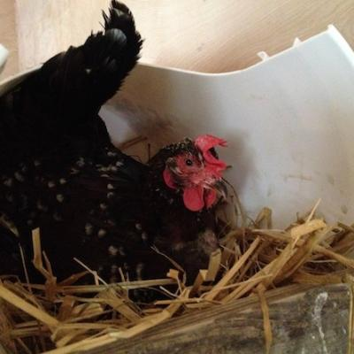 Most of the hens are a breed called Speckled Sussex.
