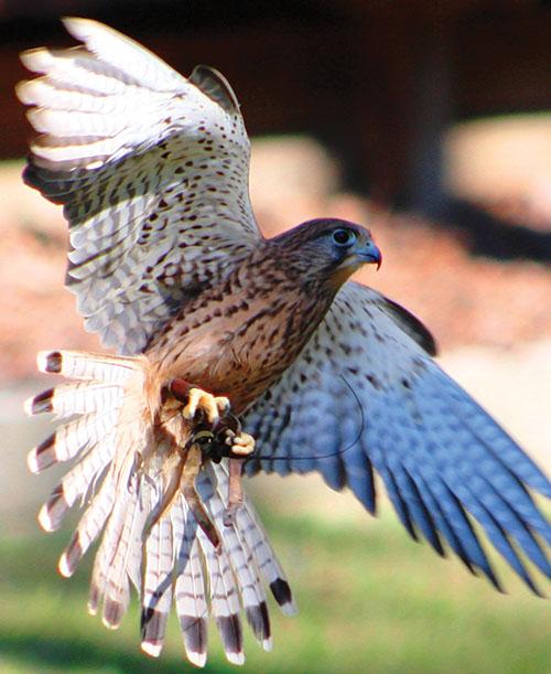Photograph courtesy of Georgia Southern Wildlife Center