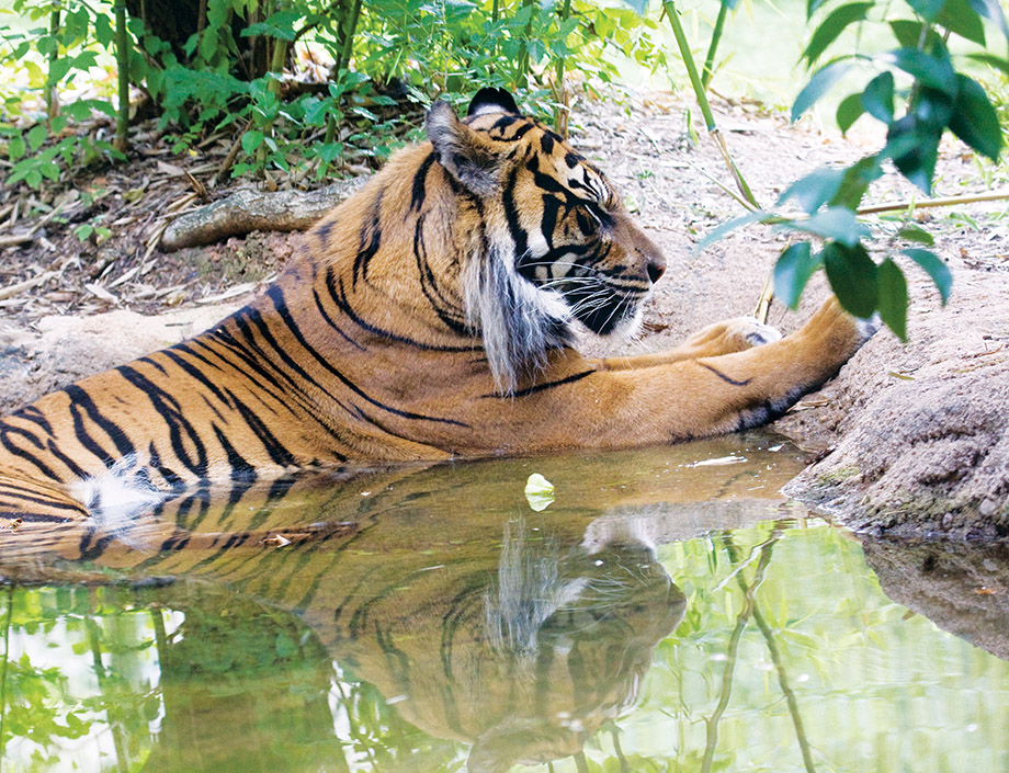 Jalal, the Zoo Atlanta tiger that contributed cells to the project