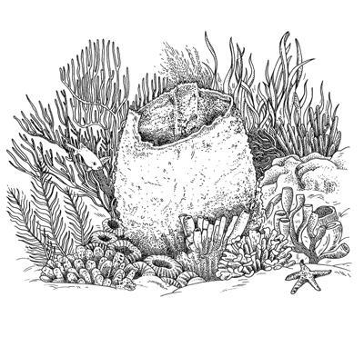 web-EMW-Illustration-Final---Barrel-Sponge