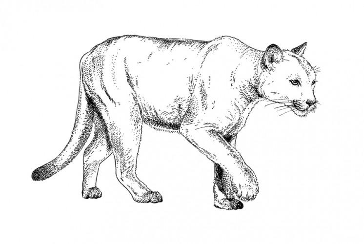 web-EMW-Illustration-Final---Florida-Panther