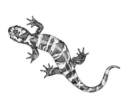 web-EMW-Illustration-Final---Marbled-Salamander