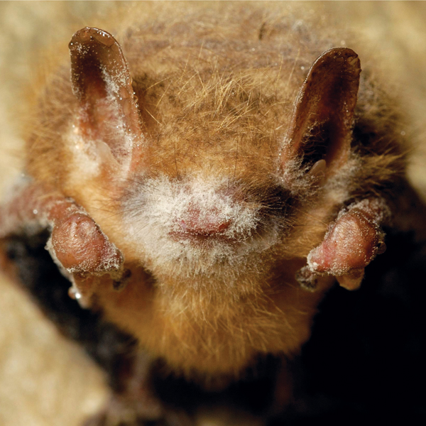 Bats white-nose syndrome
