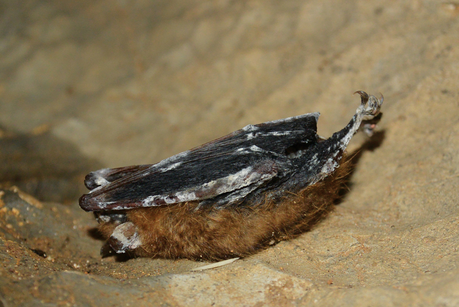 Bats White Nose Syndrome