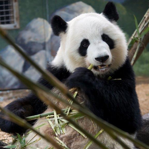 Lun Lun Zoo Atlatna giant panda expecting twins