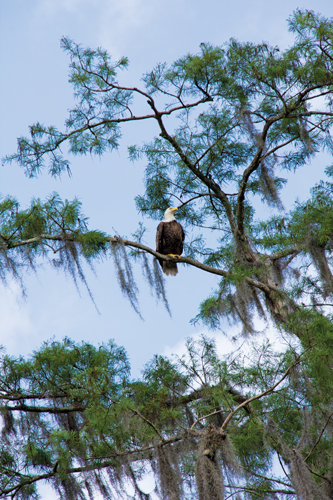 Seventy percent of Florida's bald eagles make their nests along the St. Johns River.