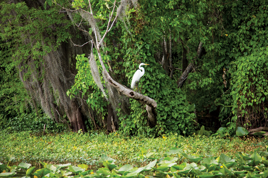 A great white heron perches next to the St. Johns River.