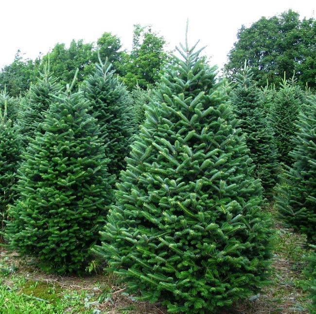 Fraser fir tree.