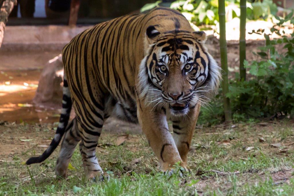 Emerson tiger Zoo Atlanta