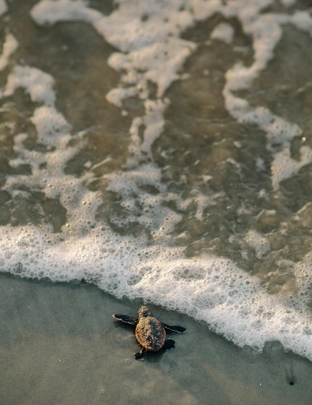 Turtles on Jekyll Island