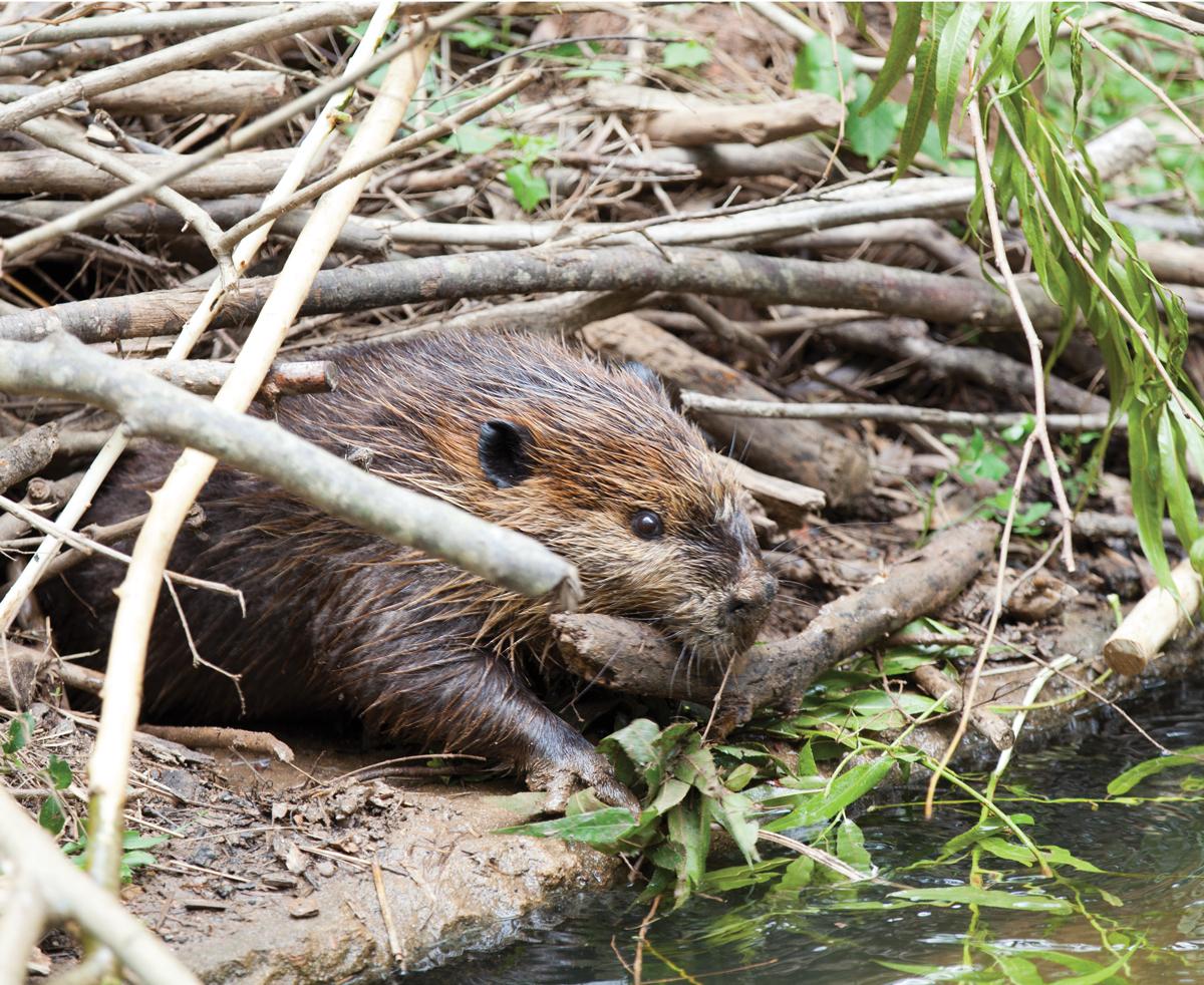 Chattahoochee Beaver