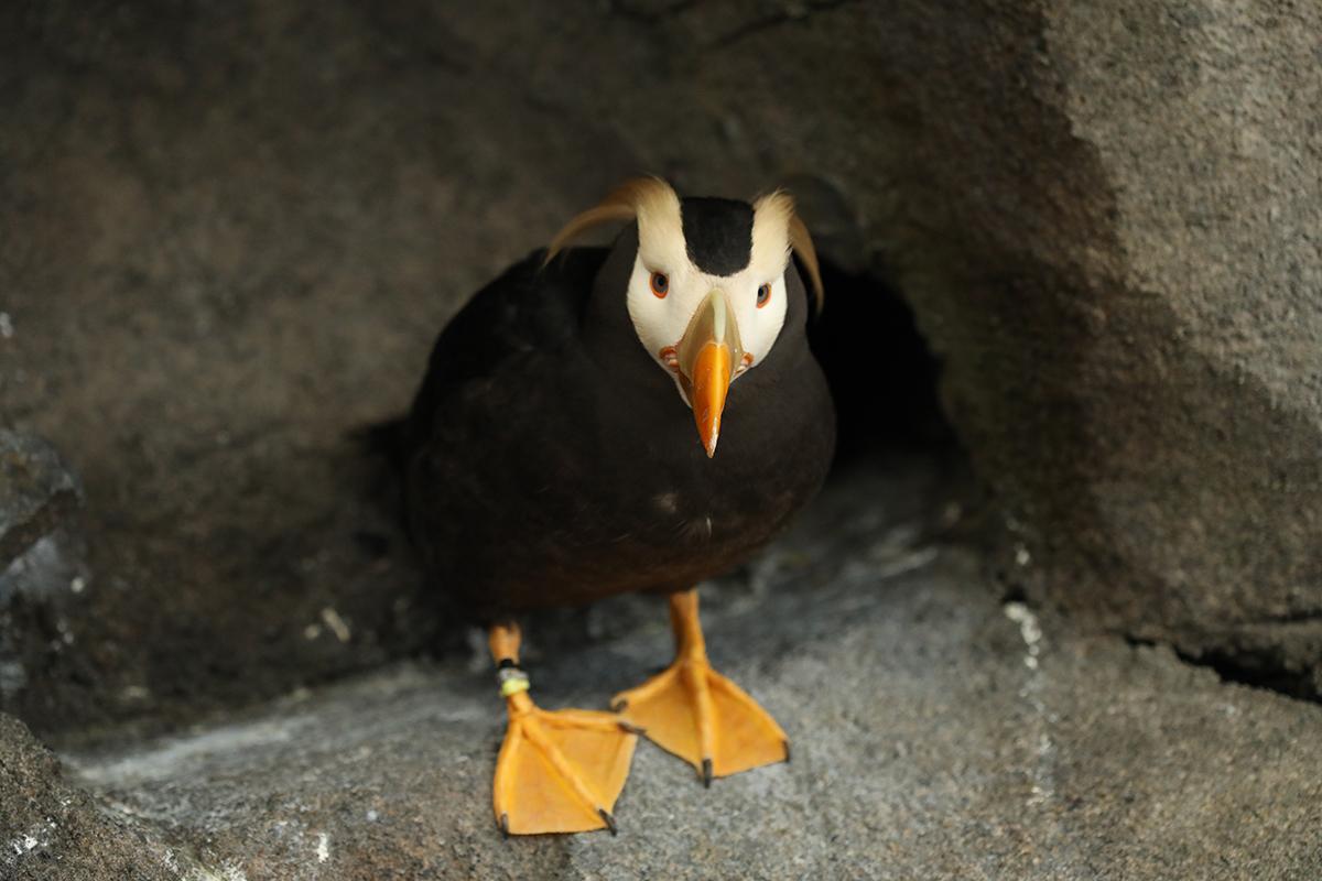Love porgs? Meet their real-life puffin cousins at the