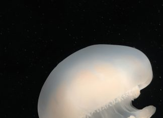 Georgia Jellyfish