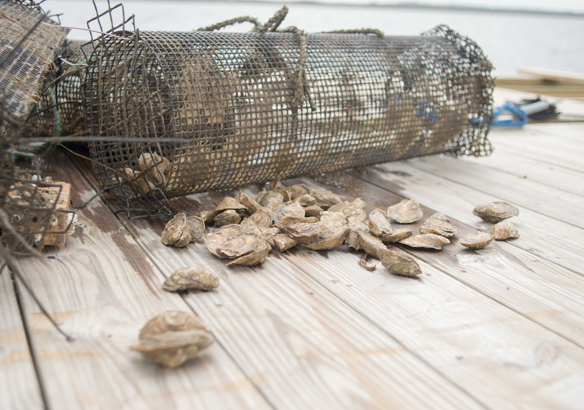 Harvesting Georgia oysters legislation