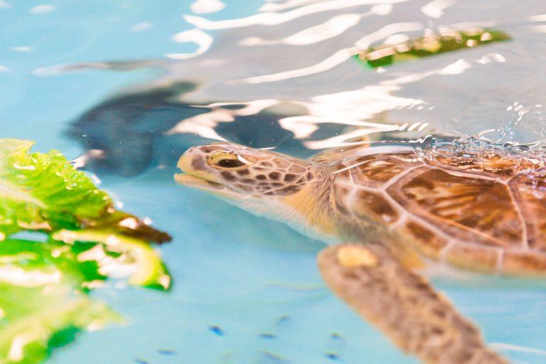 Jekyll Island's turtle hospital drove its 90 patients to Atlanta to keep them safe from Hurricane Dorian