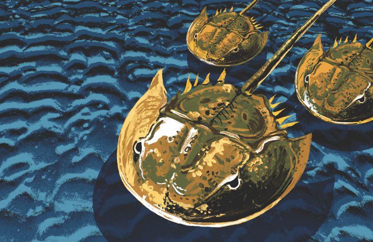 The Indispensable Horseshoe Crab