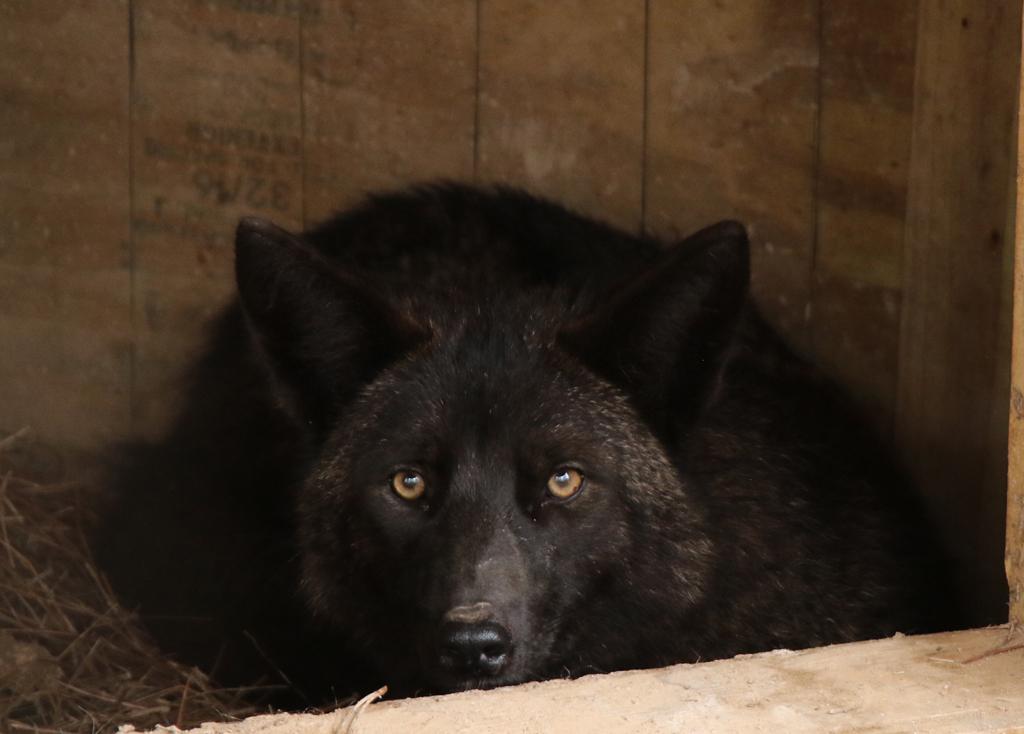Carmine le coyote s'est lié d'amitié avec beaucoup de chiens à Vinings in Marietta.